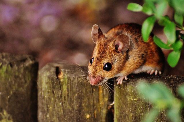 Myszy i szczury – jak zabezpieczyć przed nimi drewniany domek?